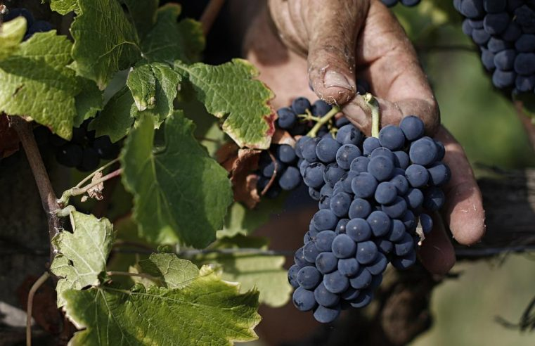 Panen Anggur Pada Musim Gugur Di Italia